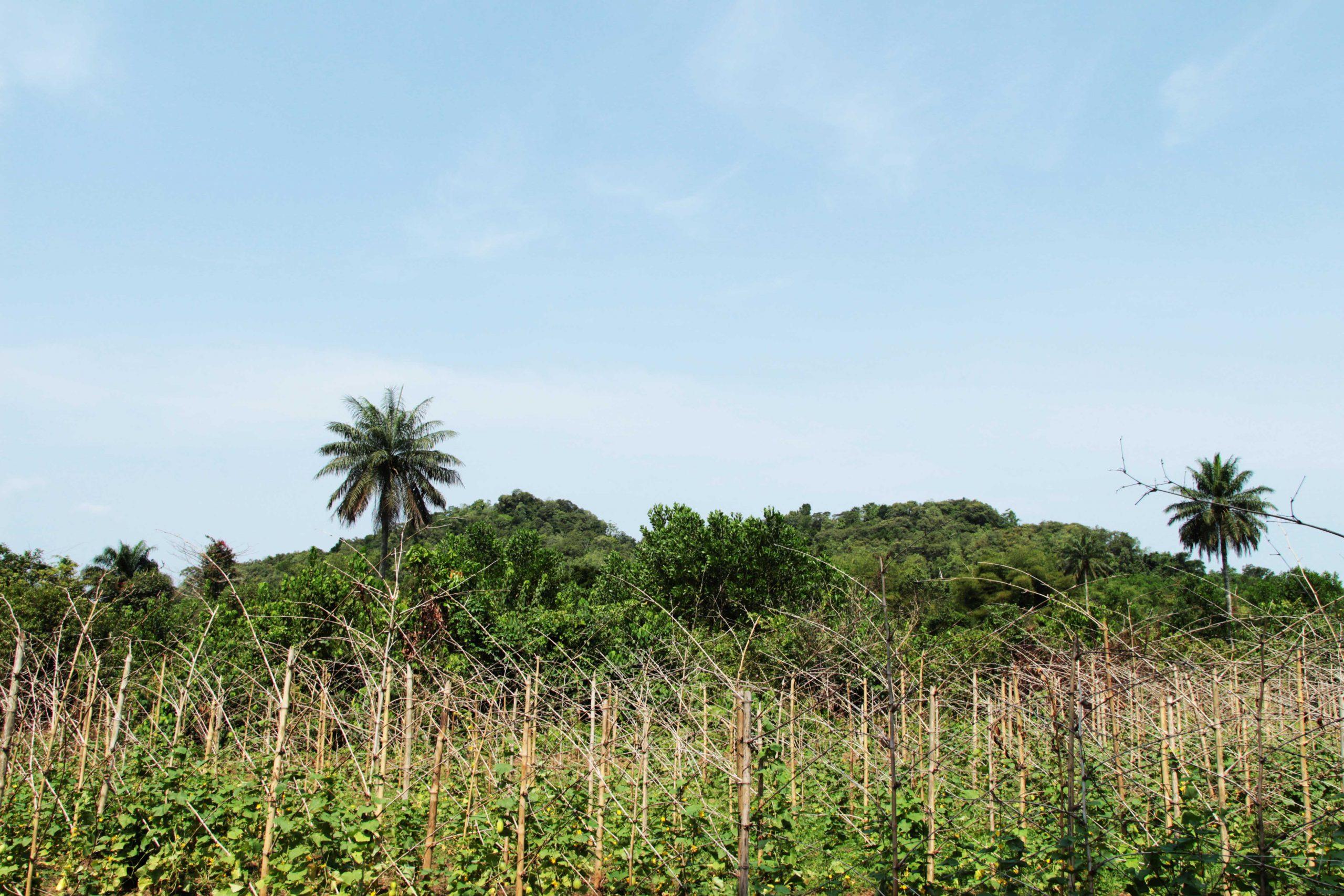 A farm in Liberia