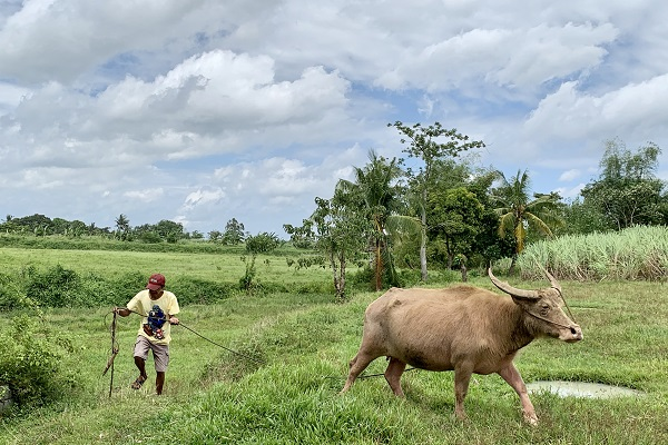 man in the field with livestock
